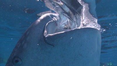 Close up of Whale Shark feeding at ocean surface near bagan (fishing platform)