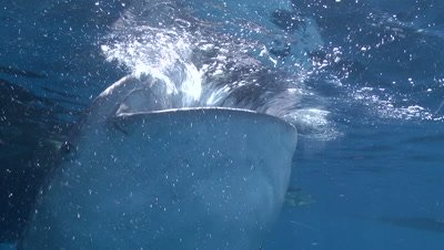 Close up of Whale Shark head and gills as it feeds at ocean surface near bagan (fishing platform)
