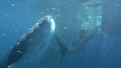 Multiple Whale sharks feeding at ocean surface near the fishing nets of a bagan (fishing platform)