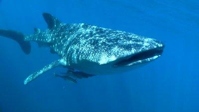 Close up of Whale Shark as it swims past camera near bagan (fishing platform)