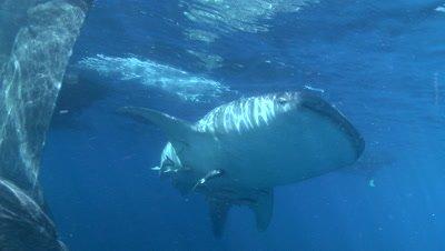 Whale shark swims just below ocean surface near the fishing nets of a bagan (fishing platform)