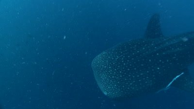 Whale Shark swims beneath camera near fishing nets of a bagan (fishing platform)