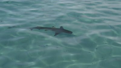 Blacktip Reef Shark swimming amongst fish in shallow waters of Wayag Island's bay