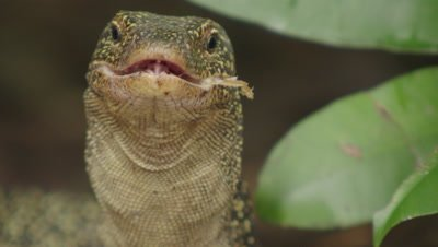 Water monitor lizard searches for food amongst dead leaves, finds part of an old carcass