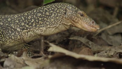 Water monitor lizards search for food amongst dead leaves; one feeds on pieces of an old carcass