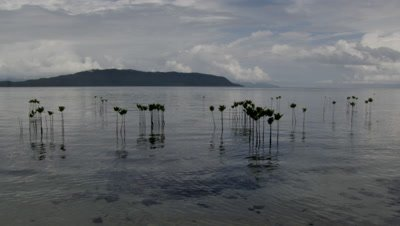 Mangrove seedlings protrude from silvery seascape with forested island in background.