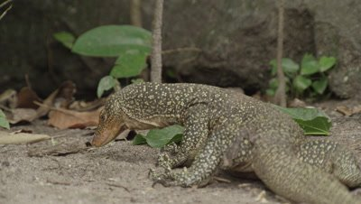 Water monitor lizards search for food amongst dead leaves
