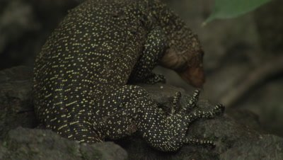 Water monitor lizard searches for food amongst rocks and dead leaves
