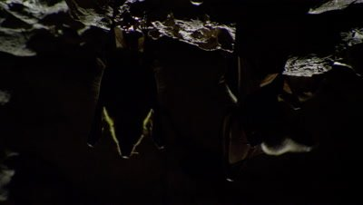 Fruit bats hanging from the roof of a limestone cave are silhoutted by daylight; other bats fly in the foreground