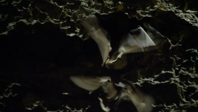 Fruit bats gather and fly from the roof of a dark limestone cave