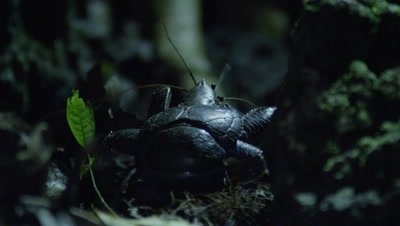 Coconut crab moving through old coral and leaflitter at night