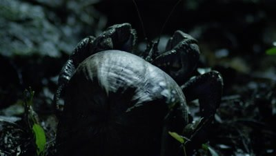 Coconut crab holding onto recently fallen coconut