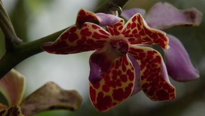 Close up of Indonesian Orchid