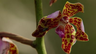 Insects crawling over Indonesian Orchid