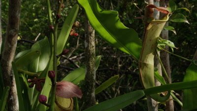 Pitcher plants and orchids in coastal forest