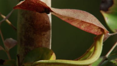 Pitcher plant with insects crawling on the rim