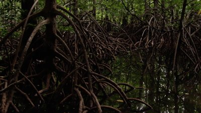 Mangrove roots in Waigeo