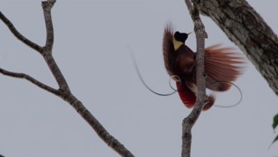 Male Red bird of Paradise performing courtship ritual