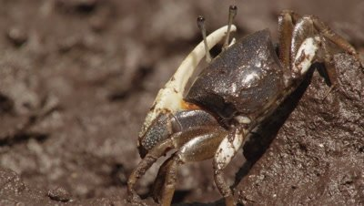 Fiddler crab feeds in mangrove mud