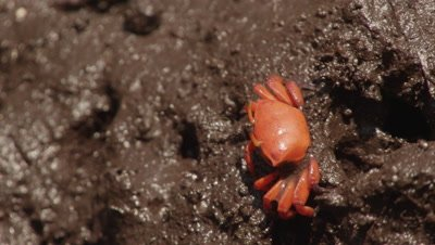 Female Fiddler crab feeds in mangrove mud