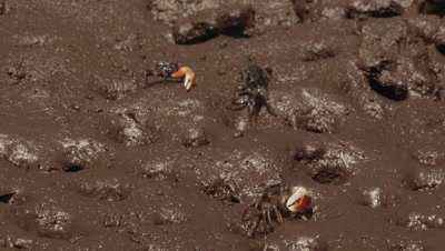 Fiddler crabs feeding in mangrove mud; male and female crabs briefly fight