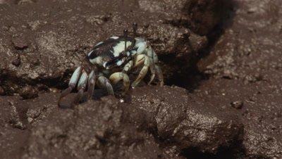 Female Fiddler crab feeds in mangrove mud