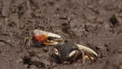 Fiddler crabs feeding in mangrove mud; two crabs briefly fight