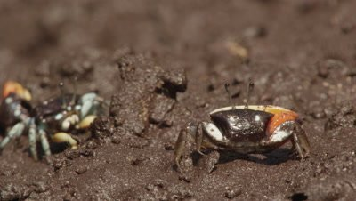 Male and female Fiddler crabs feeding in mangrove mud