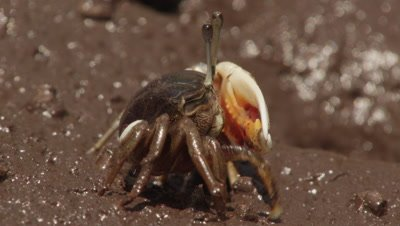 Fiddler crab feeds in mangrove mud