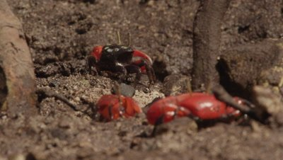 Fiddler crabs feeding in mangrove mud