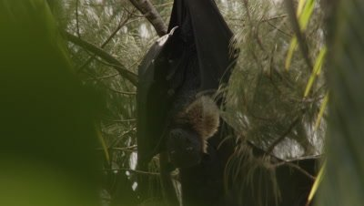 Fruit bat with baby hanging in tree; another bat rests nearby