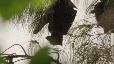 Fruit bats, some with young, hang from the branches of a tree