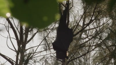 Fruit bat hangs from the branches of a tree