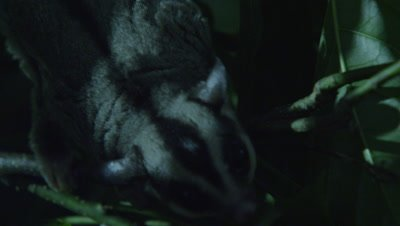 Studio set up of a Sugar Glider in a tree at night foraging for insects