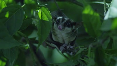 Studio set up of a pair of Sugar Gliders in a tree at night foraging for insects