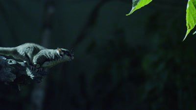 Sugar Glider leaps from tree branch while foraging for insects in a studio set up