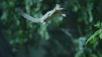Sugar Glider leaps through the air between trees while foraging for insects in a studio set up environment
