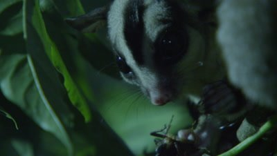 Sugar Glider feeds on an insect in a tree in a studio set up environment