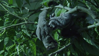 Sugar Gliders feeding on an insect in a tree in a studio set up environment; two Sugar Gliders briefly fight over one insect