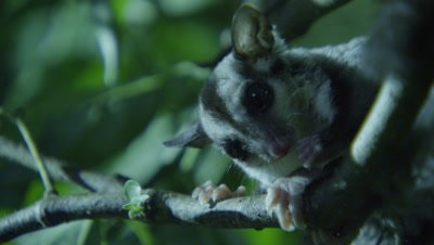 Sugar Glider grooms itself after feeding on an insect in a studio set up environment; other Sugar Gliders continue feeding in the background
