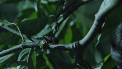 Insect crawls along tree branches near a Sugar Glider in a studio set up environment