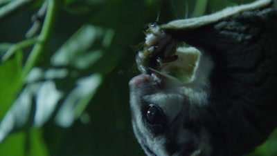 Sugar Glider steals insect from another Sugar Glider feeding in a tree in a studio set up environment