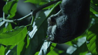 Sugar Gliders feeding on insects in a tree in a studio set up environment