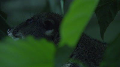 Cuscus climbs tree at night in a studio set up environment
