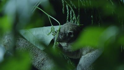Cuscus climbs tree at night and feeds on plants in a studio set up environment