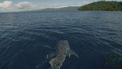 Whale shark feeding at ocean surface from fisherman handouts near bagan (fishing platform)