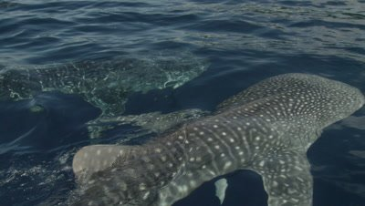 Whale sharks feed at ocean surface from fisherman handouts near bagan (fishing platform)