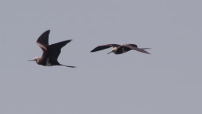 Frigate birds swooping down to steal fish from fishermans handouts near a bagan (fishing platform)