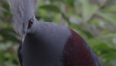 Western Crowned Pigeon perched in tree nest