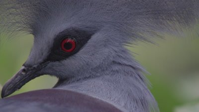 Close up of feathered crown of a Western Crowned Pigeon perched in tree
